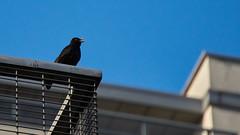 Blackbird (michal.zawolek95) Tags: blackbird katowice kattowitz silesia