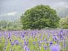 2018-05-20 09-41-53 (C) (turbok) Tags: blauviolett pflanze sibirischeschwertlilieirissibirica wasseranpflanzen wassertropfen wildblumen wildpflanzen
