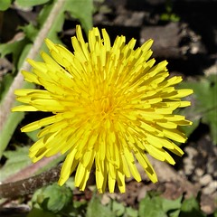 Wheaton, IL, Herrick Lake Forest Preserve, Dandelion Flower, Macro (Mary Warren 10.5+ Million Views) Tags: wheatonil herricklake nature flora plants park yellow macro weed dandelion bloom blossom flower