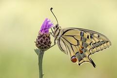 Papilio machaon (HelmiGloor) Tags: papiliomachaon schwalbenschwanz schweiz ritterfalter tagfalter schmetterling butterfly insekten insecta macro makro kantonaargau möhlin wildlife olympusmzuikodigitaled60mm olympusomdem1mkii focusstacking focusbracketing