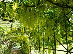 The John Beer Laburnum Walk i (Gilder Kate) Tags: pembrokelodge richmondpark richmond laburnum arch walk johnbeer chargehand laburnumwalk panasoniclumixdmctz70 panasoniclumix panasonic lumix dmctz70 tz70 royalparks royalpark