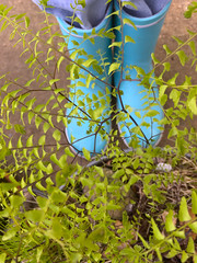 My Boots and a Maidenhair Fern (carex_grayii) Tags: boots fern tretorn