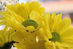 Margaritas (Anavicor) Tags: quintaflower amarillo yellow thursday thursdayflower donnerstag blume anavillar villarcorrero ana anavicor tamron16300mm