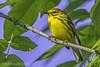 Prairie Warbler IMG_9116 (ronzigler) Tags: prairie warbler wildlife nature birdwatcher songbird avian bird