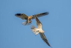 248 (gabigruia96) Tags: 7dii sigma california white tailed kite young chick mouse