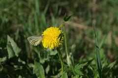 Liblikas võilillel (Jaan Keinaste) Tags: pentax k3 pentaxk3 eesti estonia loodus nature liblikas butterfly võilill taraxacum kevad spring
