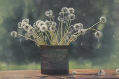flying wishes (charhedman) Tags: dandelionseedheads collectingdandelions flyingwishes bouquet bokeh clocks shadows sunshine wind thetinbucketisfromtillamookcheesefactoryintillamookoregoniknowitsnotcheese