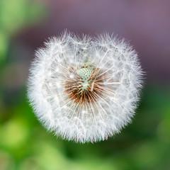 Earthlings (Chancy Rendezvous) Tags: dandelion weed seeds earthling taraxacum baldspot