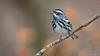 Black-and-white Warbler (Mniotilta varia) (ER Post) Tags: bird blackandwhitewarblermniotiltavaria warbler niletownship ohio unitedstates us shawneestateforestsciotocounty
