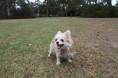 20180425-IMG_3194 (PM Clark) Tags: chihuahua pure bred long coat jezebel sydney australia