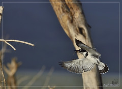 _DSC0300 (Eykat) Tags: alcyon martinpêcheur kingfisher barbican barbet bird oiseau baringo mara massai kenya buffalo buffle hoaxpecker piqueboeuf tchitrec wagtail