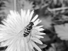 Hoverfly (seanwalsh4) Tags: macro insect hoverfly bw 7dwf thursdaysbworsepia nature love detailed closeup happy summer nice seanwalsh bristol canon photography