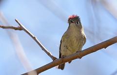 Ruby-crowned Kinglet (JDA-Wildlife) Tags: birds nikon nikond7100 tamronsp150600mmf563divc jdawildlife johnny portrait closeup eyecontact kinglets kingletrubycrowned rubycrownedkinglet whatbirdbestofday gorgeous composition