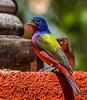 Painted Bunting (Passerina ciris) (NigelJE) Tags: aguacate jalisco mexico mx paintedbunting bunting passerinaciris passerina cardinal cardinalidae nigelje puertovallarta vallartabotanicalgardens