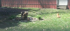 We have a vixen with 5 kits living underneath our small shed this season (debstromquist) Tags: virginiaredfoxes redfoxes vixens kits babyfoxes spring momsbackyard plano il illinois