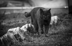 On the hunt... / На охоту... (dmilokt) Tags: кот кошка cat чб bw nikon d750 dmilokt black white beginnerdigitalphotographychallengewinner