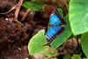 Impossibly Blue - _TNY_0317 (Calle Söderberg) Tags: macro canon canon5dmkii canonef100mmf28usmmacro canoneos5dmarkii 5d2 insect butterfly morpho peleides commonmorpho blue metallic reflective shiny fjäril peleidesbluemorpho butterflyhouse praktfjäril papilionoidea nymphalidae leaf blackborder f28 fjärilshuset hagaocean