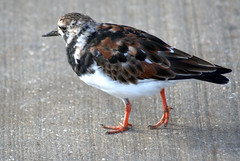 Turnstone in Scarborough (Tony Worrall) Tags: nature natural color cool nice colours colourful scarborough yorks yorkshirephotos east eastern northyorkshire yorkshire bird birds wild wildlife fowl britain english british gb capture buy stock sell sale outside outdoors caught photo shoot shot picture captured england regional region area northern uk update place location north visit county attraction open stream tour country welovethenorth feathers peck pecker smallpecker