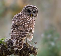 Barred Owl (Gary McHale) Tags: barred owl circle b bar reserve lakeland florida gary mchale ngc npc