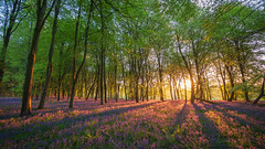 Bluebell Wood Sunrise (AppleTV.1488) Tags: anyvision bluebells england europe gb gbr greatbritain labels plants panasonicgx800 uk wildflowersofgreatbritain autumn dawn deciduous ecosystem flora forest grove leaf nature naturereserve path sunlight sunrise temperatebroadleafandmixedforest tree vegetation woodland froxfield wiltshire unitedkingdom cakewood appletv1488 2018 may 06052018 6may2018 06 panasonicdcgx800 lumixgvario714f4 14mmfocallength35mm am noflash landscapeapectratio f40 ¹⁄₄₀secatf40