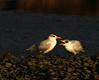 First light - Caspian tern and juvenile (Maureen Pierre) Tags: firstlight sunrise ashleyestuary caspiantern juvenile begging feeding fuji fujifilm xt2