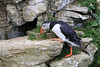 Puffin (Karen Roe) Tags: bemptoncliffs bempton coast cliff naturereserve nature reserve yorkshire county england britain uk unitedkingdom greatbritain gb canoneos760d canon 760d 150600mm sigma zoom contemporary wildlife may 2018 peaceful quiet tranquil outside spring weather season camera photography photograph photographer picture image snap shot photo karenroe female flickr visit visitor rspb royal society protection birds member sea coastal