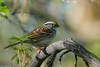White-throated Sparrow (jvalentine300) Tags: whitethroatedsparrow