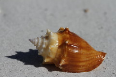 Side view of a Florida fighting conch, Strombus alatus, found on a beach (Blue Tale) Tags: conch seashell invertebrate animal shellfish snail cockle shell piece sealife beach seasnail small seashore closeup food molluscs sand tropical organism orange clamsoystersmusselsandscallops close brown gastropod sea summer white marine ocean nature alatus clams conchology florida naples life macro strombus floridafightingconch fighting strombusalatus sideview side
