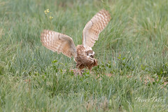 Burrowing Owl mating sequence - 14 of 22