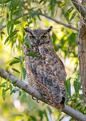 Great Horned Owl (Ed Sivon) Tags: america canon nature lasvegas wildlife wild western southwest desert clarkcounty clark flickr vegas bird birdofprey great owl nevada nevadadesert