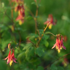 Wild Columbines at Ciha Fen (Rh+) Tags: iowa columbine wildflower nature nikon macro read colors natural chiafen wild photography