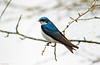 Tree Swallow - 94A8096a2c (Sue Coastal Observer) Tags: treeswallow tres tachycinetabicolor reifelbirdsanctuary male delta bc britishcolumbia canada