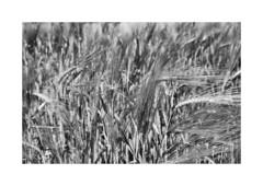 Ernte (Sabine Kierstead) Tags: landschaft landscape schwarz schwarzweis sw weis white black blackandwhite bw