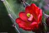 Botanischer Garten - Kaktusblüte (J.Weyerhäuser) Tags: botanischergarten gonsenheimerwald kaktus blüte tropfen