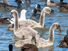 Black Swan Cygnets (AdamsWife) Tags: australia westernaustralia wildlife bird birds swan blackswan cygnet