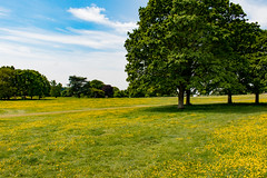 More buttercups (Keith in Exeter) Tags: buttercups flowers field grass killerton estate parkland landscape tree sky devon nationaltrust yellow