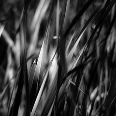 Marshland Grasses 058 (noahbw) Tags: d5000 dof nikon prairiewolfsloughforestpreserve abstract blackwhite blackandwhite blur bw depthoffield dreamlike dreamy grass landscape leaves light marshland monochrome natural noahbw prairie shadow spring square wetlands