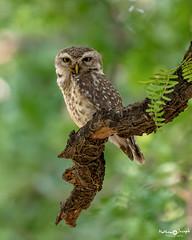 Spotted Owlet (mathewindelhi) Tags: owl bird wild wildlife nature nikon india sultanpur haryana delhi