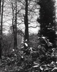 Winterbourne gardens (OhDark30) Tags: carl zeiss jena czj werra 3 tessar 2850 35mm film monochrome bw blackandwhite bwfp fomapan 200 rodinal winterbourne gardens birmingham garden trees shrubs spring sunshine ivy leaves silhouette foliage