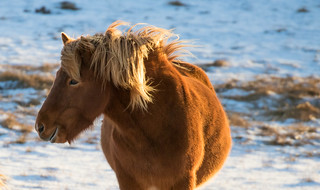 Icelandic horse out in the cold