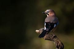 Eurasian Jay (jajjen) Tags: birds spring nature wildlife forest tree jay eurasianjay fågel fåglar natur skog djur nötskrika vår