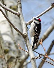 Downy Woodpecker (Mark...L) Tags: downy woodpecker blueheronnaturepreserve