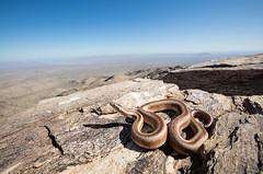 Desert Rosy Boa from La Paz County, Arizona (Evan Arambul) Tags: boa snakes desert mountain arizona explore