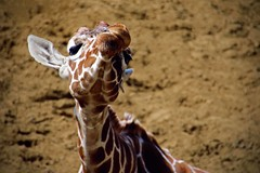 Giraffe (nickym6274) Tags: whipsnade zslwhipsnadezoo dunstable uk giraffe funnyface giraffacamelopardalisreticulata animal