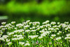 Trifolium Repens (moaan) Tags: awaji hyogo japan jp clover whiteclover color green outdoors sunlight day littlethings verdure dof depthoffield bokeh bokehphotography canonphotography canoneos5dsr ef70200mmf28lisiiusm utata 2018 springtime