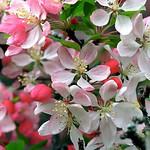 "Cincinnati – Spring Grove Cemetery & Arboretum ""Crab Apple Tree - Blooms"" thumbnail"
