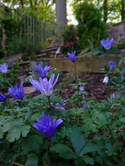Beautiful Periwinkle Blue... (Nicki Ki) Tags: flowerscolours colour periwinkle flower leafy lighting joy evening nature