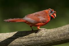 Northern Cardinal, male (molting stage) (AllHarts) Tags: malenortherncardinal backyardbirds memphistn naturescarousel sjohnsonsfauna