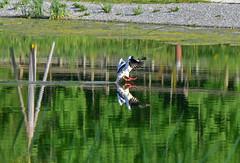 Arrêt sur image... (Diegojack) Tags: lausanne vaud suisse d7200 oiseaux canards harlebièvre amérissage reflets instantané sauvabelin planeau