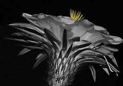 Details (oybay©) Tags: night midnight suncitywest arizona unique unusual nightbloom cactusflower cactus flower flora fiori blumen argentinegiant macro upclose color colors white whiteflower light greatshot coolshot cool indoor black background food